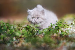Adorable british longhair kitten outdoors Royalty Free Stock Photos