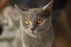 Adorable british shorthair Stock Photos