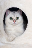 Adorable british shorthair kitten in a cat house Stock Photo