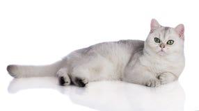 Adorable british shorthair kitten on white Royalty Free Stock Photos