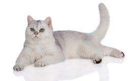 Adorable british shorthair kitten on white Stock Photo