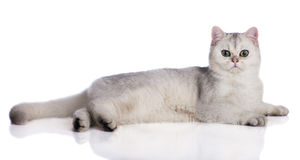 Adorable british shorthair kitten on white Stock Images