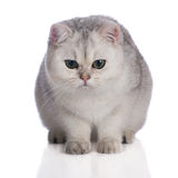 Adorable british shorthair kitten on white Royalty Free Stock Photography