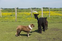 Adorable brown baby alpaca standing behind its darker mother in enclosure watched by stern looking dog royalty free stock image