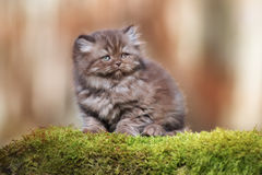 Adorable brown british longhair kitten outdoors Stock Image