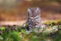 Adorable brown british longhair kitten outdoors Stock Photos