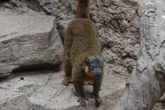 Adorable Brown Collared Lemur on a Rock. Adorable Brown Collared Lemur Ready to Jump Royalty Free Stock Photos