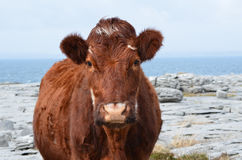 Adorable Brown Cow Standing on The Burren Stock Images