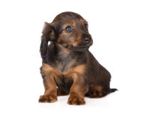 Adorable brown dachshund puppy royalty free stock image