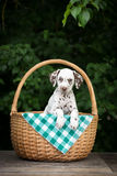 Adorable brown dalmatian puppy in a basket Royalty Free Stock Images