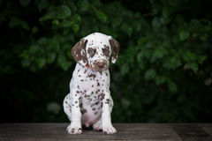 Adorable brown dalmatian puppy Royalty Free Stock Images