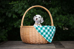 Adorable brown dalmatian puppy Royalty Free Stock Photography