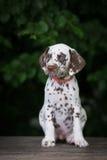 Adorable brown dalmatian puppy Stock Image