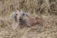 Adorable brown goat lying in bed of hay with entertaining expression. Mouth open. Goat laying alone in pile of hay. Has hilarious expression and appears to be Stock Photography