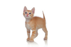 Adorable brown kitten Royalty Free Stock Images