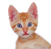Adorable brown kitten looking at camera Royalty Free Stock Images
