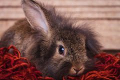 Adorable brown lion head rabbit bunny holding one ear up. Stock Photography