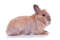 Adorable brown little bunny stock image
