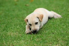 Adorable brown puppy lies on the grass field. To take a rest Stock Images