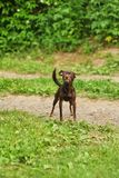 Adorable brown puppy of Toy Terrier posing on grass in summer stock image
