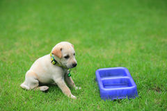 Adorable brown puppy waiting for food at the gr. Adorable brown puppy is siting and waiting for food at the grass field Stock Image