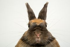 Adorable brown rabbits portrait looking srtaight close shot in studio. Adorable brown rabbits portrait close shot in studio white background Royalty Free Stock Images