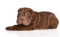 Adorable brown shar pei puppy lying down Royalty Free Stock Photography