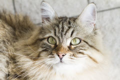 Adorable brown siberian cat looking up. Male brown cat of siberian breed Stock Photo