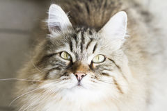 Adorable brown siberian cat looking up. Male brown cat of siberian breed Royalty Free Stock Photo