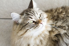 Adorable brown siberian cat looking up. Male brown cat of siberian breed Royalty Free Stock Images