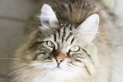 Adorable brown siberian cat looking up. Male brown cat of siberian breed Stock Photography
