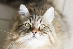 adorable brown siberian cat looking up Stock Image