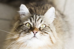 Adorable brown siberian cat looking up. Male brown cat of siberian breed Stock Photos