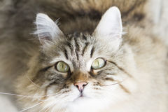 adorable brown siberian cat looking up Stock Photography