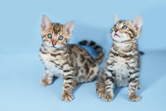 Adorable brown spotted bengal kittens Royalty Free Stock Images