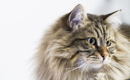 Adorable brown tabby cat in the house, male siberian breed. Siberian cat, brown tabby lovely male Royalty Free Stock Photography