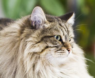 Adorable brown tabby cat in the house, male siberian breed. Siberian cat, brown tabby lovely male Stock Image