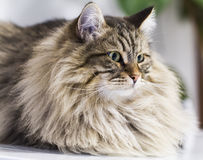 Adorable brown tabby cat in the house, male siberian breed. Siberian cat, brown tabby lovely male Stock Images