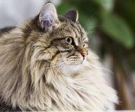 Adorable brown tabby cat in the house, male siberian breed. Siberian cat, brown tabby lovely male Royalty Free Stock Photos