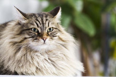 Adorable brown tabby cat in the house, male siberian breed. Siberian cat, brown tabby lovely male Stock Photography