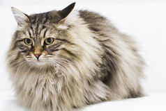 Adorable brown tabby cat in the house, male siberian breed. Siberian cat, brown tabby lovely male Stock Photos