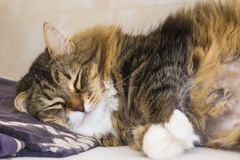 Adorable brown tabby female siberian cat lying on a towel in sleeping time Royalty Free Stock Images