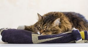 Adorable brown tabby female siberian cat lying on a towel Stock Images