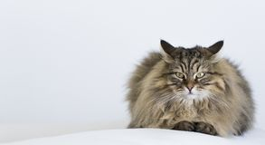 Adorable brown tabby male siberian cat lying on the sofa. Brown tabby cat in relax time, siberian hypoallergenic Purebred male Stock Photo
