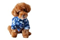 An adorable brown toy Poodle dog wearing hawaii dress for summer season stock photos