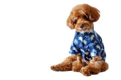 An adorable brown toy Poodle dog wearing hawaii dress for summer season stock photo