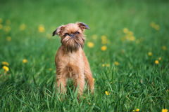 Adorable brussels griffon dog outdoors in summer Stock Photo