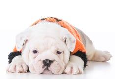 Adorable bulldog puppy Stock Image