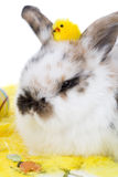 Adorable bunny with easter chicken on her head Royalty Free Stock Image