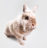 Adorable bunny indoors Royalty Free Stock Photos